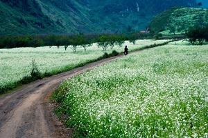 Check in mùa hoa cải trên đất Mộc Châu xinh đẹp